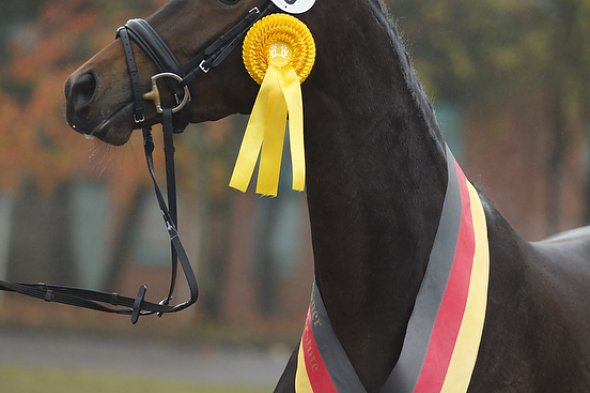 Trakehner Hengstmarkt 2015: Jahressiegerstute Heavenly Brown